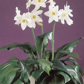 Eucharis amazonica AGM
