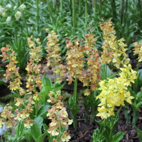 calanthe sieboldi hybrid