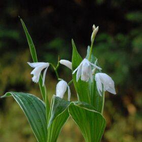 Bletilla striata alba variegated