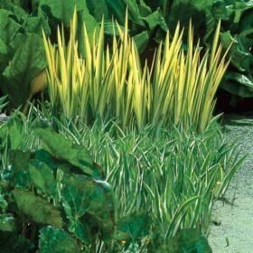 Iris Pseudacorus Variegata AGM