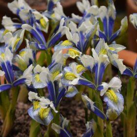 Iris Dwarf/Reticulata Sea Breeze