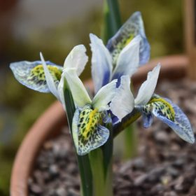 Iris Dwarf/Reticulata Splish Splash