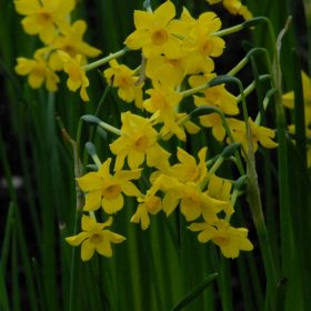 Daffodil Division 7 Jonquilla Baby Boomer