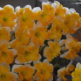 Daffodil Division 11 Split Corona Orangery