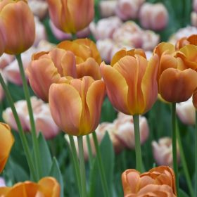 Tulip Triumph Brown Sugar