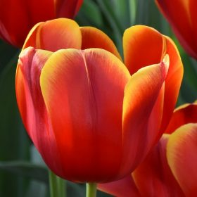 Tulip Triumph Flying Dragon