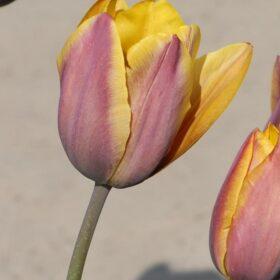 Tulip Breeder Old Times