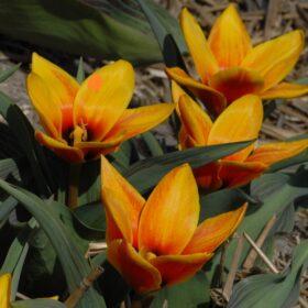 Tulip Dwarf Early Flowerdale