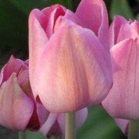 Tulip Breeder La Joyeuse