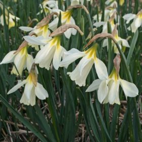 Daffodil Division 10 Species moschatus