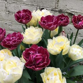 Tulip Partners Dream Touch and Mount Tacoma 20 of each £16.00