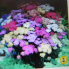 Achillea summer pastels