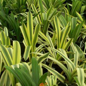 clivia miniata variegate