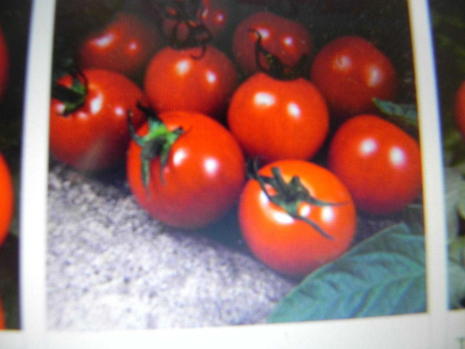 Tomato Alicante Heavy cropping tomato early harvest
